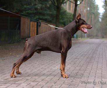 Dobermann Welpen Dobermann Puppies